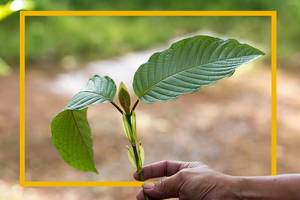 quality kratom plant - buy quality Kratom close to a shop near you